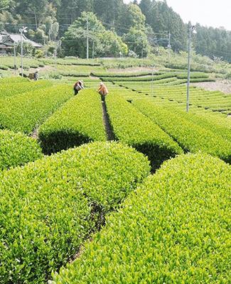 (一社)大子町特産品流通公社(奥久慈茶)